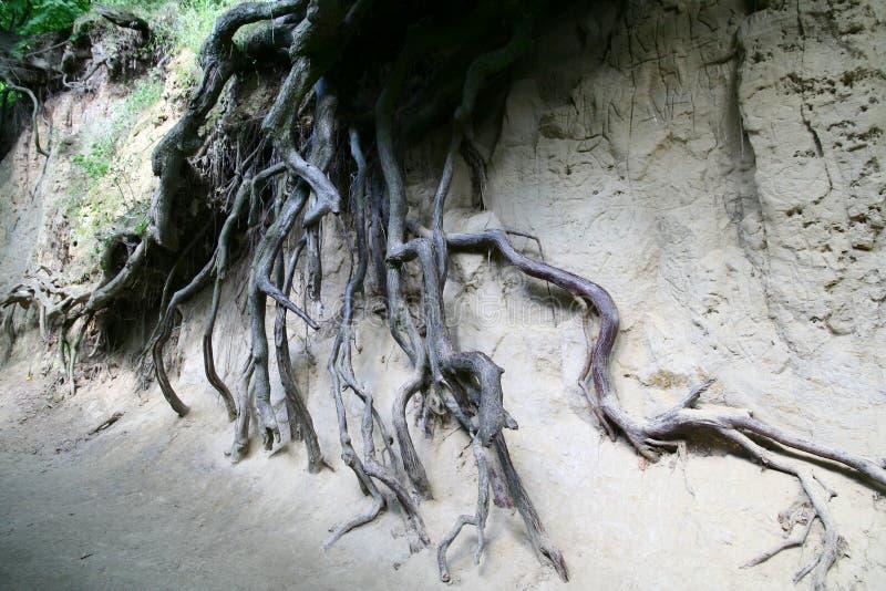 Radici dell'albero fotografie stock