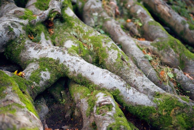 Radici dell'albero con muschio fotografia stock