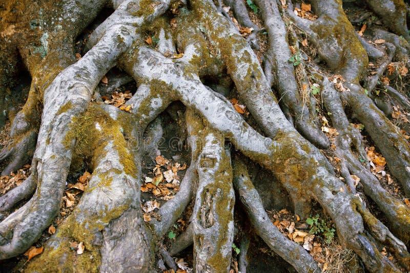 Radici dell'albero con muschio fotografie stock