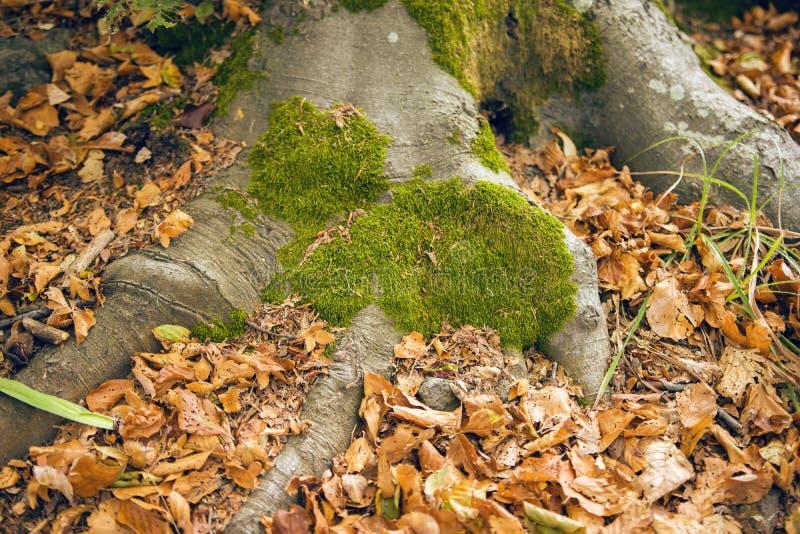 Radici dell'albero con muschio immagine stock libera da diritti