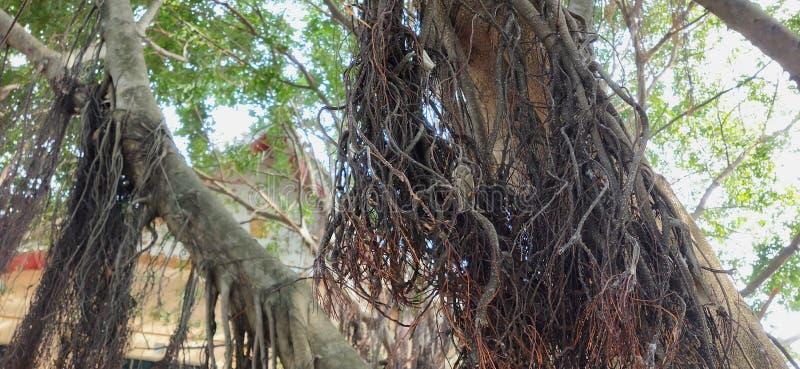 Radici dell'albero di banyan con il fondo del tempio fotografia stock