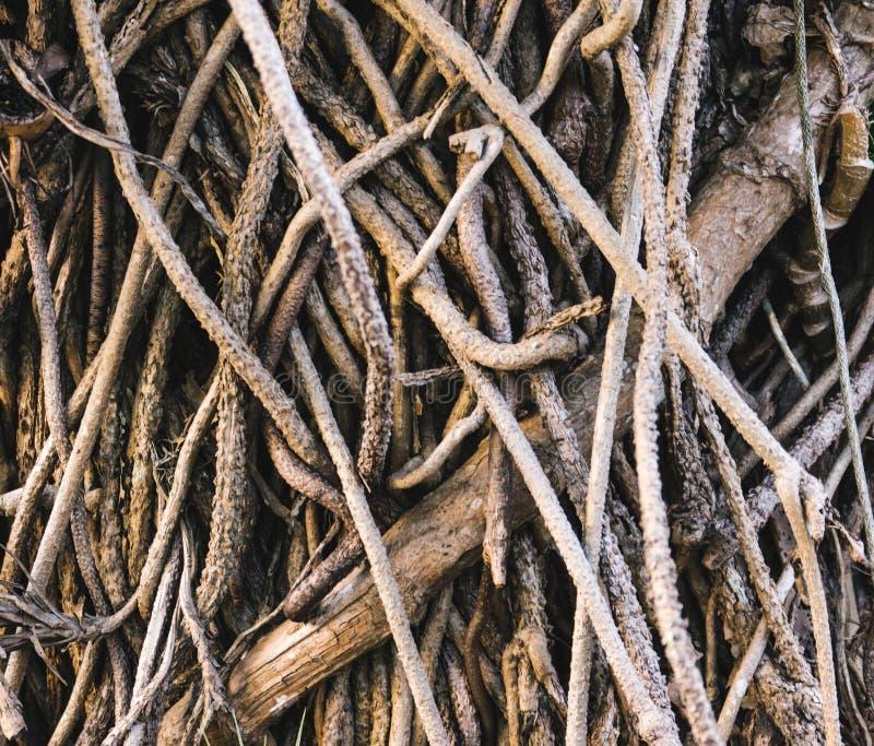 Radici dell'albero di banyan, fine su fondo strutturato immagini stock libere da diritti