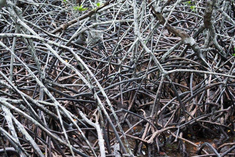 Radici dell'albero forestale della mangrovia fotografia stock