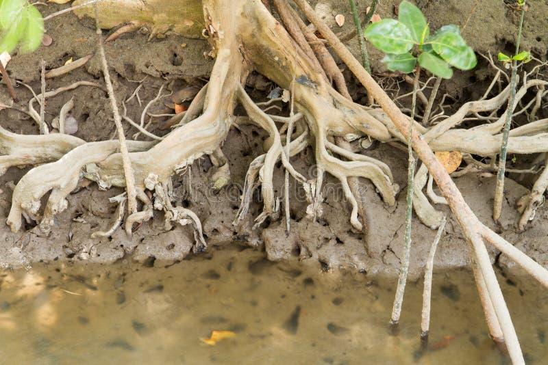 Radici dell'albero nella foresta della mangrovia. fotografia stock libera da diritti