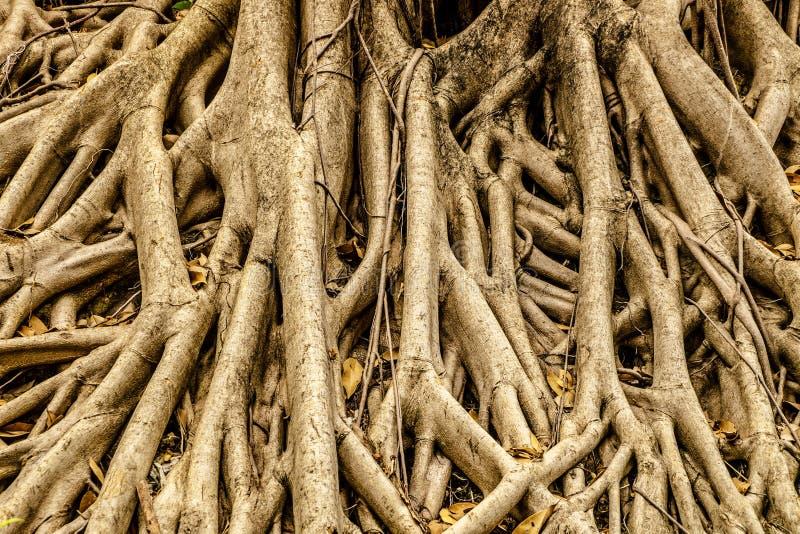 Download Radici Dell'albero Per Fondo Immagine Stock - Immagine di agricoltura, nave: 55357817