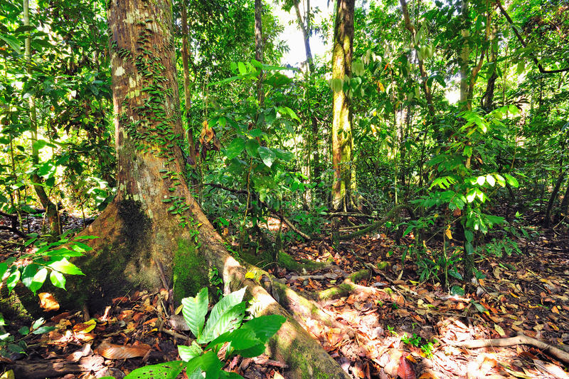 Radici di Butress dall'albero enorme fotografia stock libera da diritti