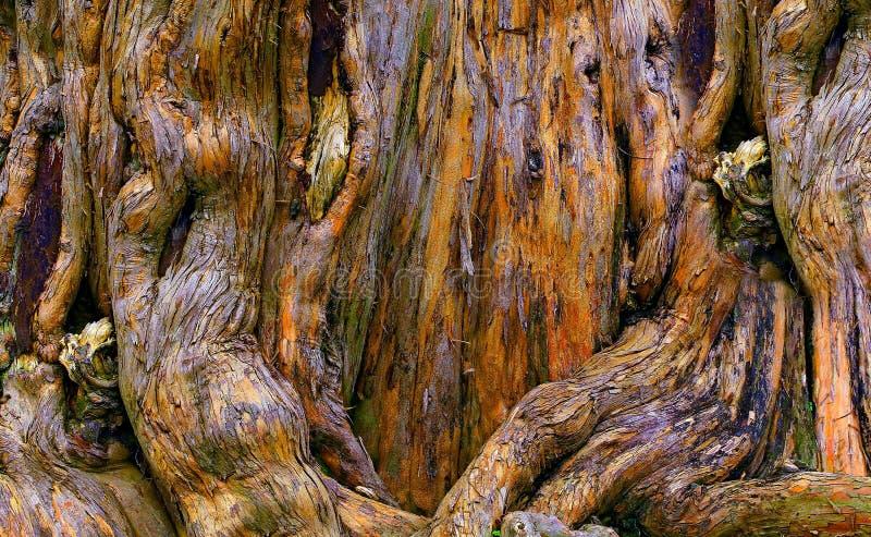 Radici di decomposizione dell'albero di banyan fotografia stock libera da diritti