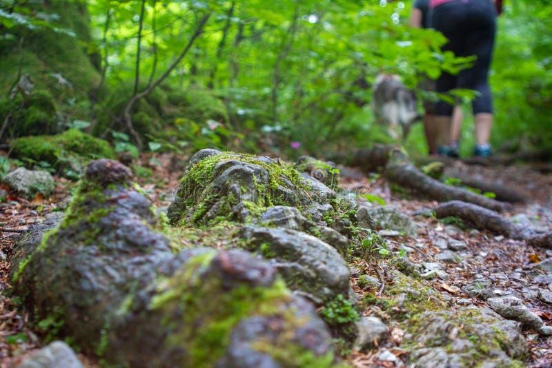 Radici di legno antiche e rocce al suolo fotografie stock