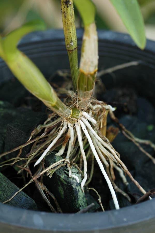 Radici di Phalaenopsis dell'orchidea immagine stock