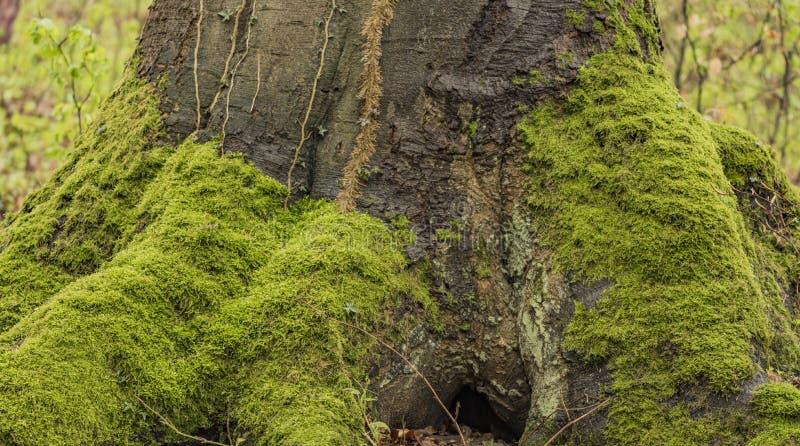 Radici e muschio dell'albero nella foresta di primavera fotografia stock libera da diritti