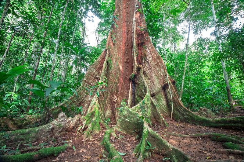 Radici enormi del contrafforte in Costa Rica fotografie stock