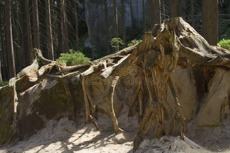 Radici enormi dell'albero forestale in sabbia fotografia stock