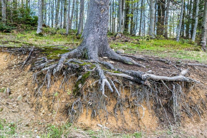 Radici nocive nude dell'albero immagine stock