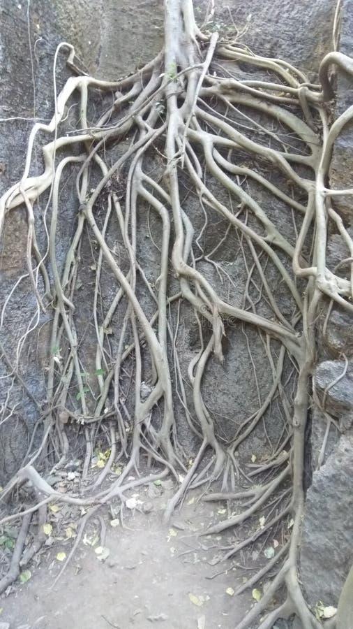 Radici nude dell'albero in foresta fotografia stock