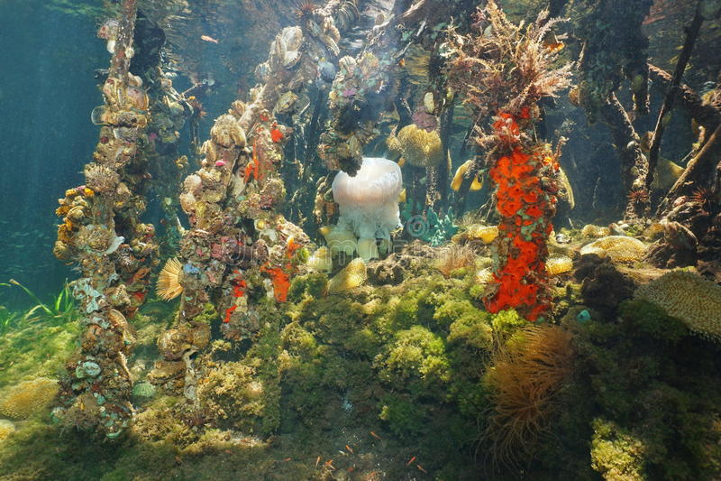 Radici subacquee della mangrovia e vita marina variopinta fotografia stock