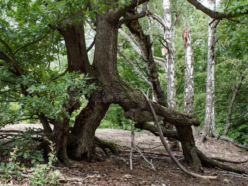 Radici torte dell'albero nella foresta fotografia stock libera da diritti