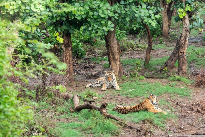 Radio två eller spåring av kragebengal tigrar eller av ett para ihoppar i härliga gröna träd och av bakgrund på Sariska royaltyfri foto