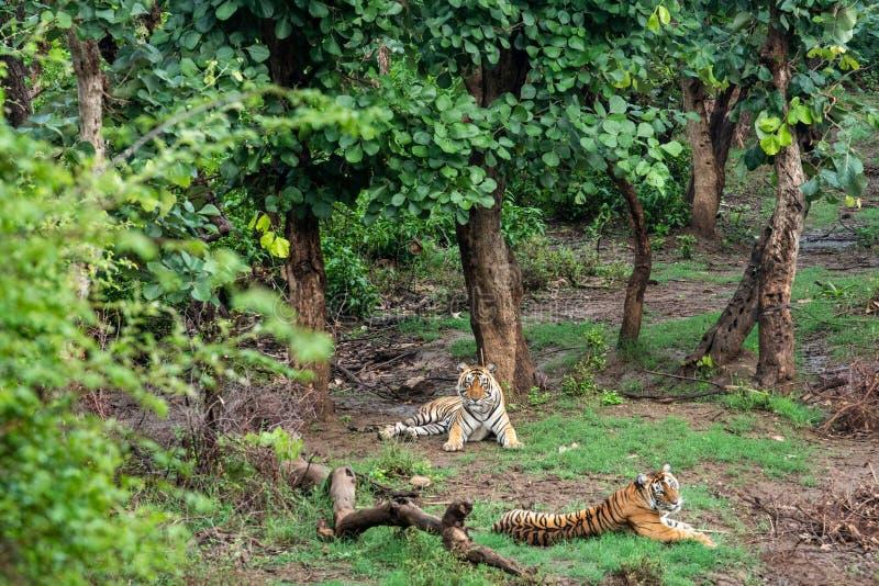 Radio två eller spåring av kragebengal tigrar eller av ett para ihoppar i härliga gröna träd och av bakgrund på Sariska fotografering för bildbyråer