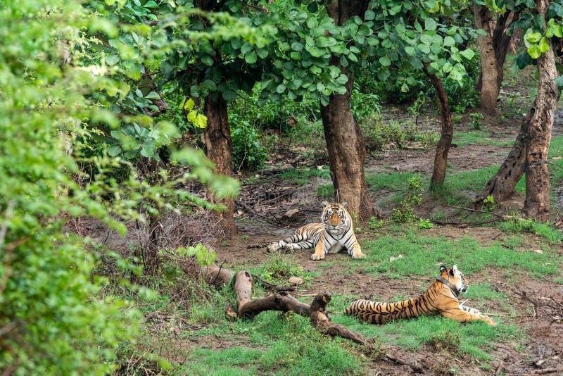 Radio två eller spåring av kragebengal tigrar eller av ett para ihoppar i härliga gröna träd och av bakgrund på Sariska arkivfoton