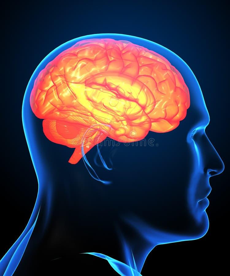 Radiografía del cerebro humano stock de ilustración
