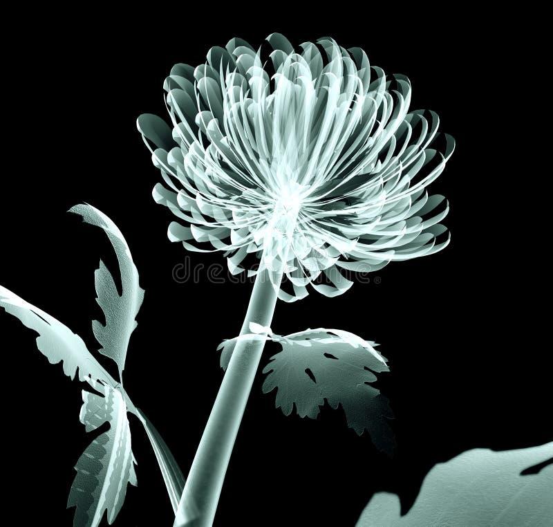 Radiografíe la flor aislada en negro, el crisantemo de la imagen del pompón foto de archivo libre de regalías