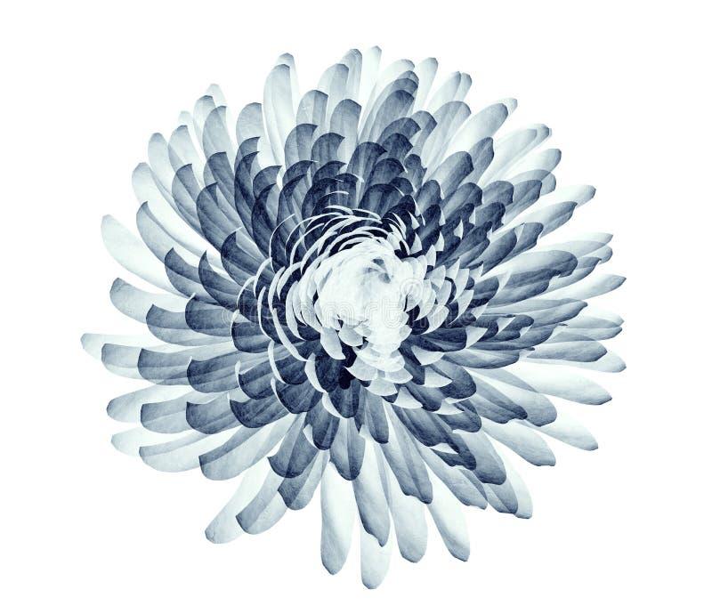 Radiografíe la imagen de una flor aislada en blanco, el pompón Chrysanth libre illustration