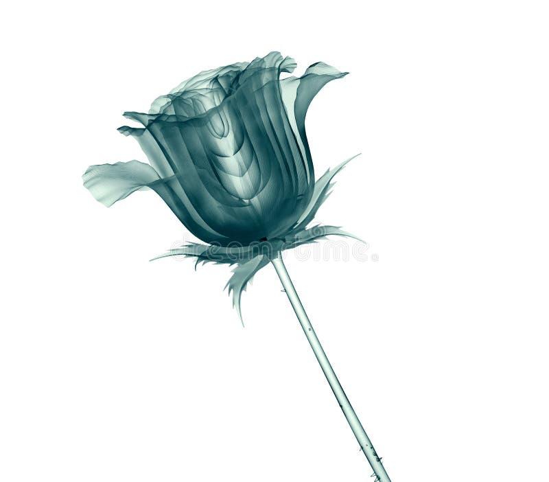 Radiografíe la imagen de una flor aislada en blanco, la rosa stock de ilustración