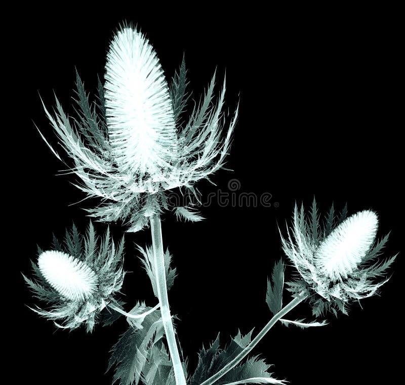 Radiografíe la imagen de una flor aislada en negro, el acebo de mar foto de archivo libre de regalías