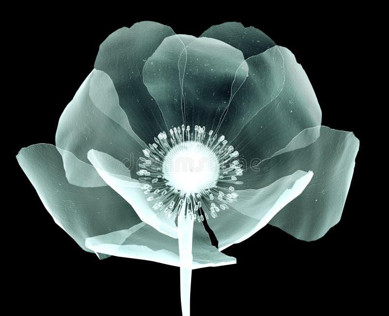 Radiografíe la imagen de una flor aislada en negro, la amapola foto de archivo
