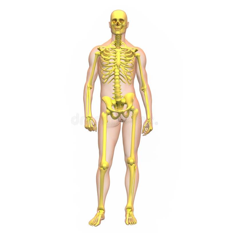 Radiografe a ilustração do corpo humano e do squeleto masculinos ilustração do vetor