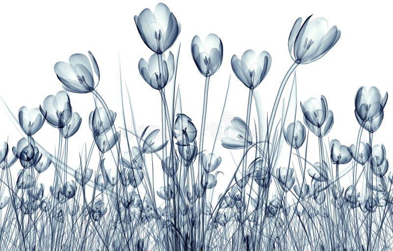 Radiografe a imagem de uma flor isolada no branco, o açafrão ilustração stock