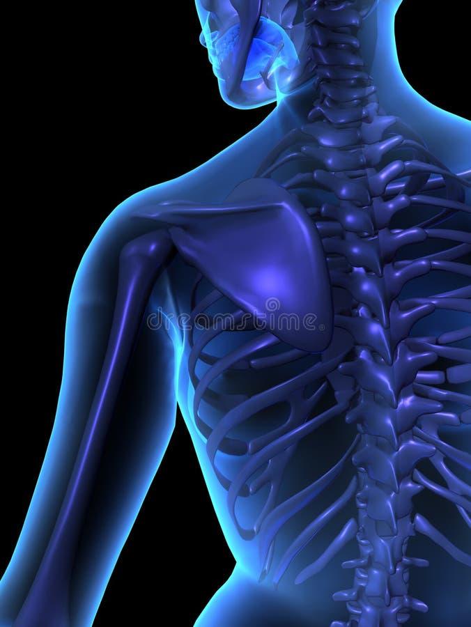 Radiographiez l'illustration du fuselage humain et du skelet femelles illustration libre de droits