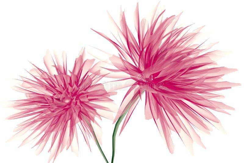 Radiographiez l'image d'une fleur d'isolement sur le blanc, le dahlia illustration stock