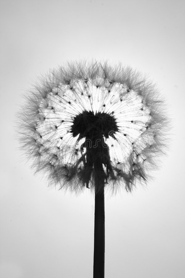 Download Radiography of a dandelion stock photo. Image of head - 2274044