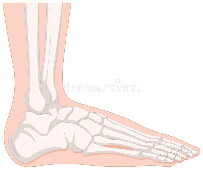 Radiologiczna ludzka nożna kość ilustracja wektor