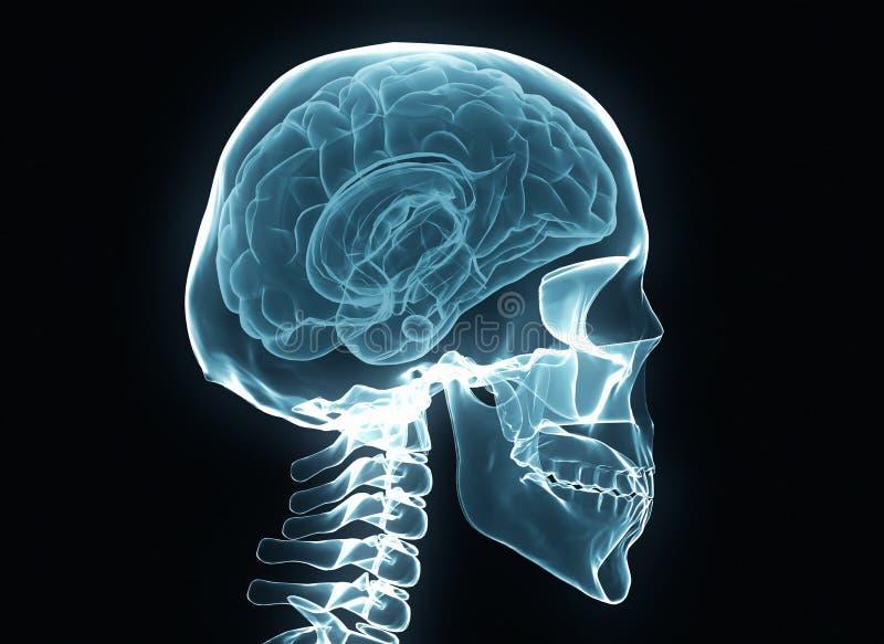 Radiologiczny mózg i kościec ilustracji