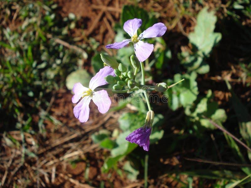 Radis - fleur photos stock