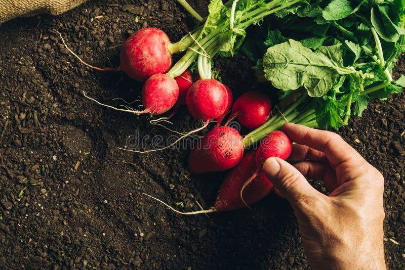 Radis moissonn? par participation d'agriculteur, fin de main photographie stock
