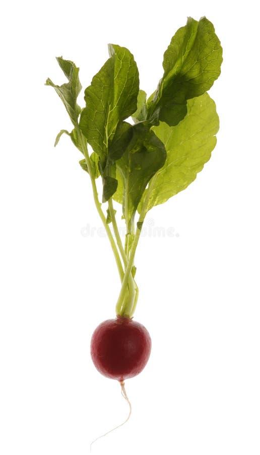 Radish. Isolated on White Fresh Radish royalty free stock photo