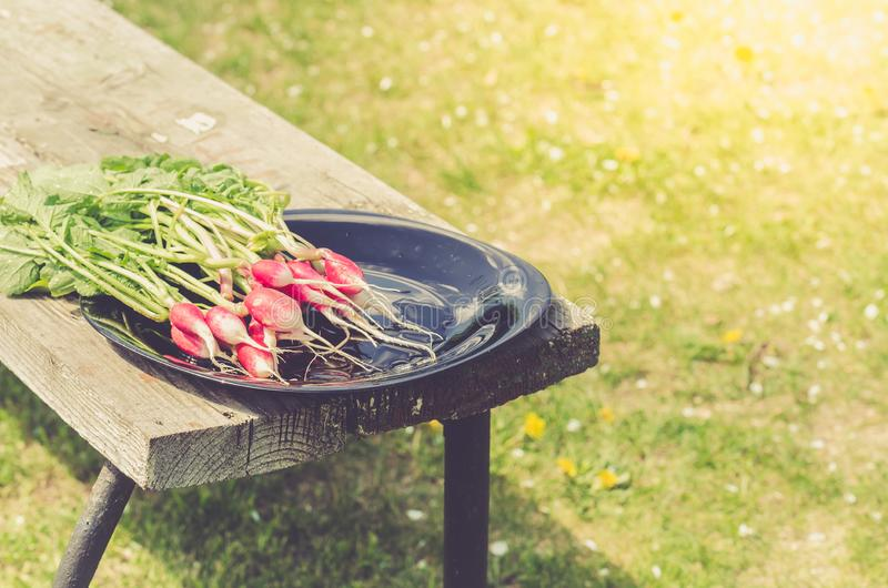Radish in a black bowl on a white bench in a garden/fresh garden radish in a garden. Toned stock photo