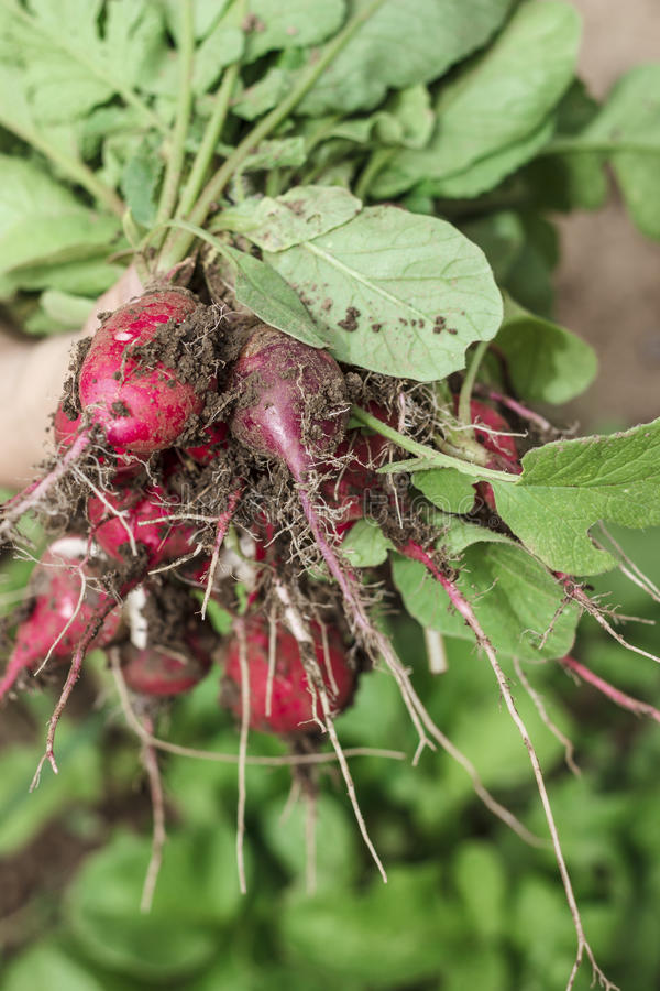 Radish bunch with dirt, in hand royalty free stock images