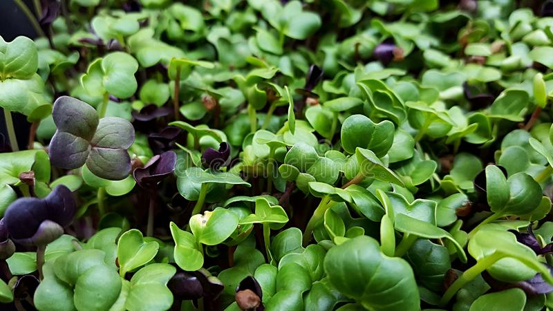 Microgreens in grow lights. Radish Cabbage kale broccoli beet Swiss char micro greens growing in led light indoors on urban farm stock photos