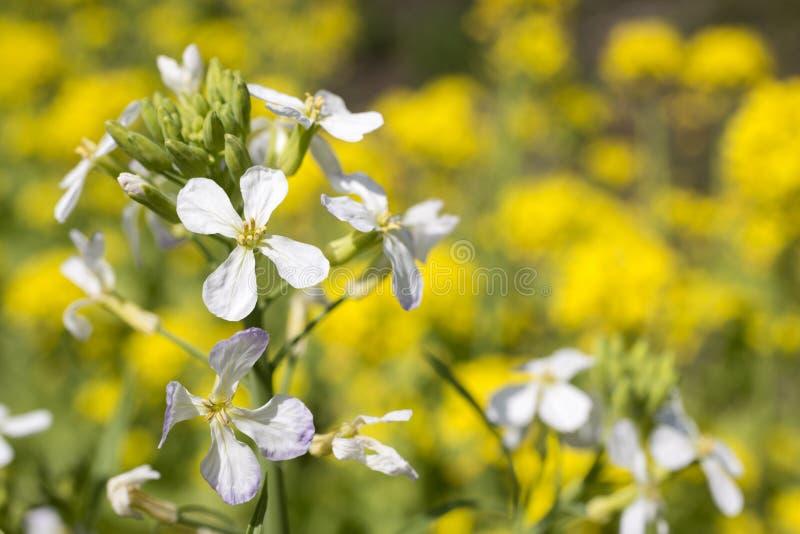 Radish flowers royalty free stock images