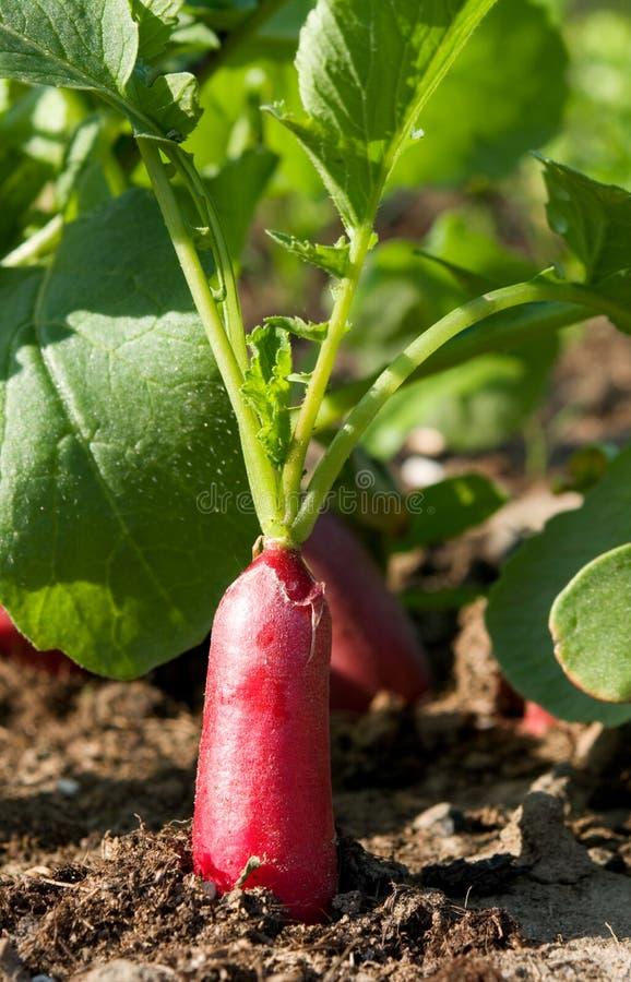 Radish in garden. Bio fresh long red radish in garden stock image