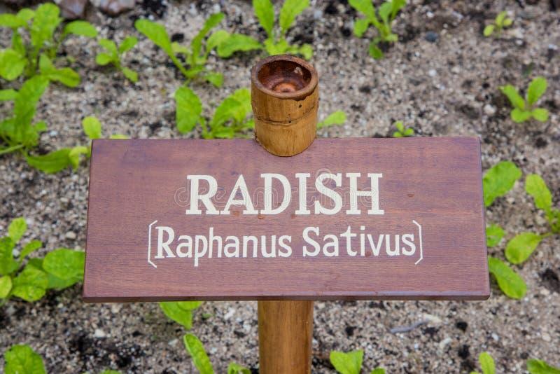 Radish in the garden stock image