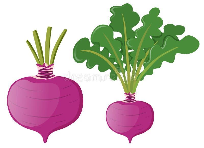 Radish with green leaves. Illustration royalty free illustration