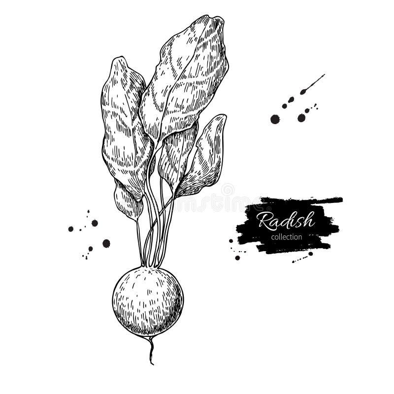 Radish hand drawn vector illustration. Isolated Vegetable engraved style object. Detailed vegetarian food vector illustration
