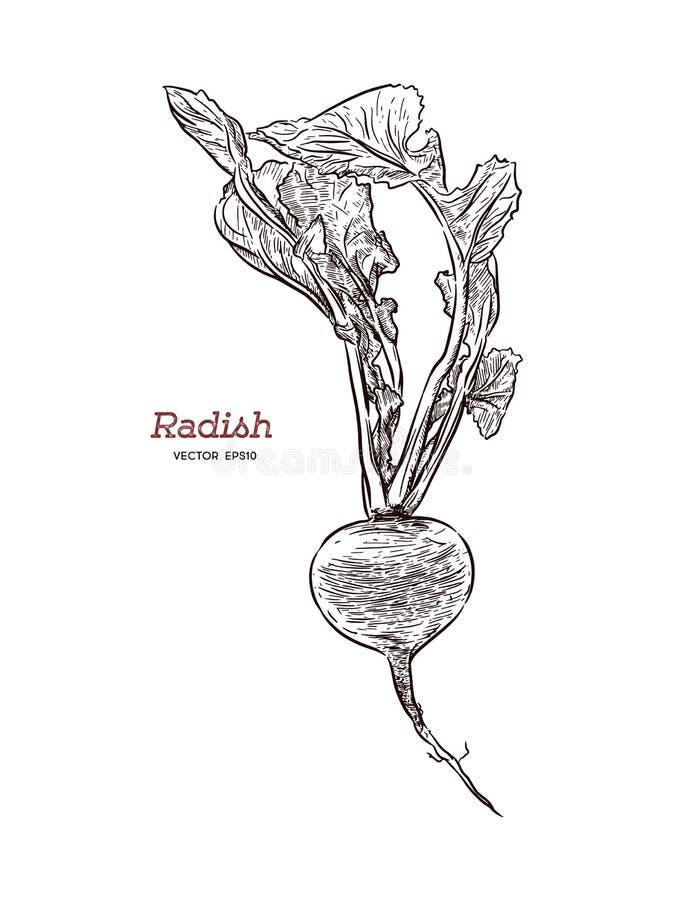 Vector one radish. Isolated on white background. vector illustration