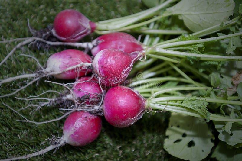 Radish - organic food - vegetable stock photo