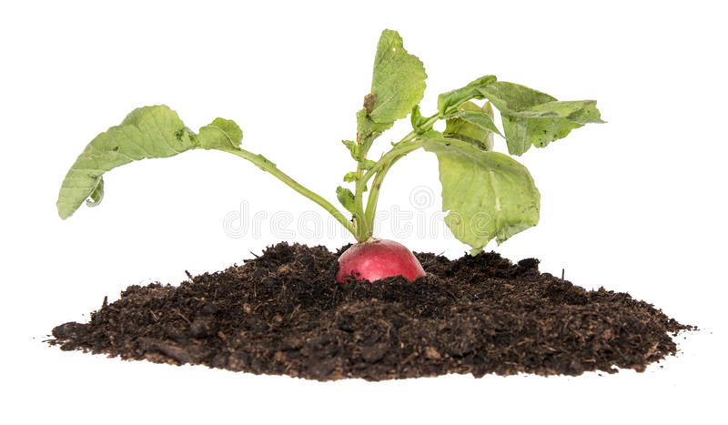 Radish plant in a heap of earth on white stock photos